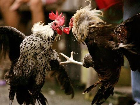 印度一公鸡不愿参加斗鸡 试图逃跑时 身上的刀片刺死了主人