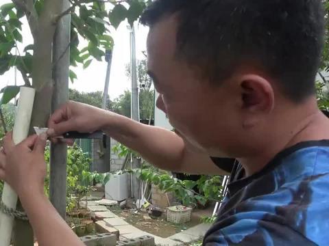 老林今天去帮网友找奇楠沉香原树,小小一棵4米高都要15万