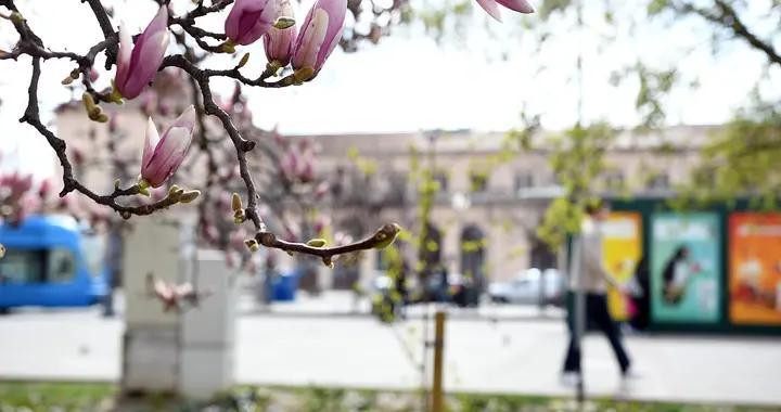 克罗地亚萨格勒布玉兰花盛开