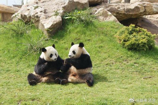 外媒:法国饲养的中国大熊猫成功进行自然交配