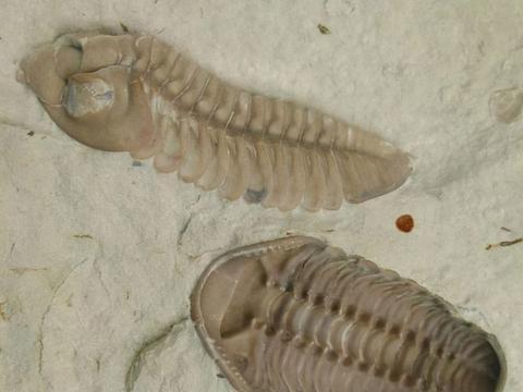 三叶虫为什么可以成为地球生物圈的霸主?三叶虫化石怎么鉴别