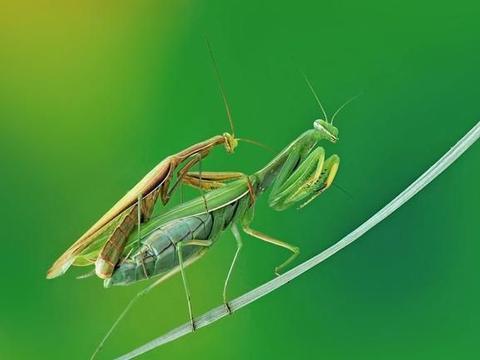螳螂交配之谜:雄螳螂在交配后自愿被雌螳螂吃掉?事实并非如此