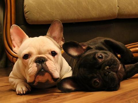 纯种法国斗牛犬的5大特征,我家的就不是