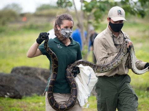 30000条大蛇难逢敌手,全职猎人无能为力,缅甸蟒在美国泛滥成灾