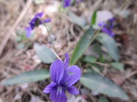 紫花地丁,农村田野常见,3个用途了解下!