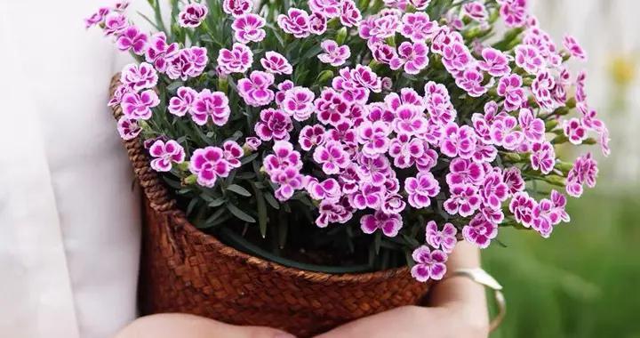 家里养石竹花,春天记住这4点,开花多到爆,繁花似锦、好看极了