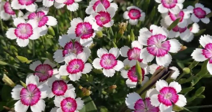 石竹花怎么养?注意2点,分枝多开花多花期长,花繁色艳