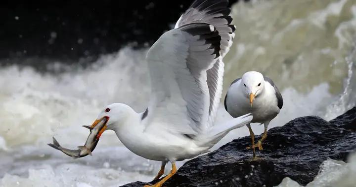 土耳其鲻鱼成群洄游产卵 海鸥激流中捕鱼享受大餐