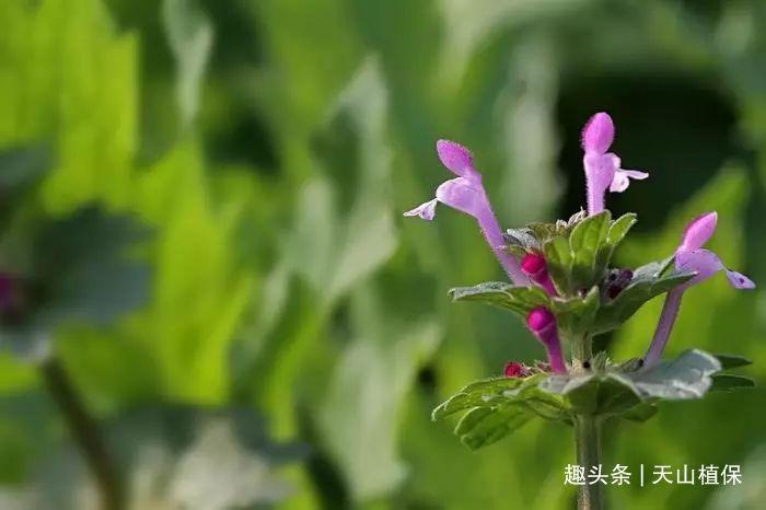 """农村有种野草,像佛祖的""""莲花座"""",市场稀缺100元一斤!"""