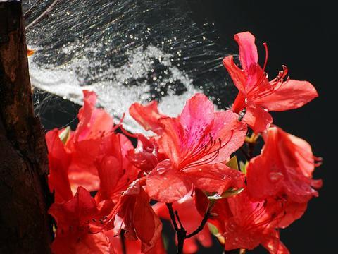 被蜘蛛网网住的野杜鹃花,顽强地绽放,这春天的生机令人无限感慨