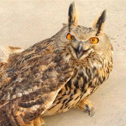 """甘肃一地公安联合群众成功救助国家二级野生保护动物""""雕鸮"""""""
