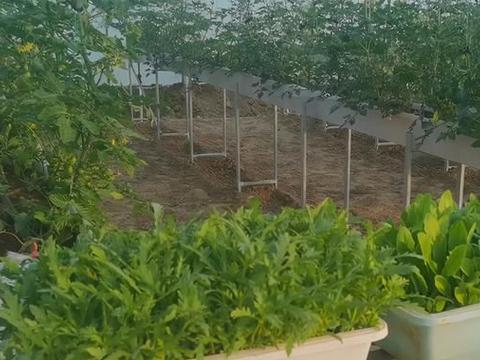 夏季高温,茼蒿怎么种?做对3方面,长势好,适合菜园种植