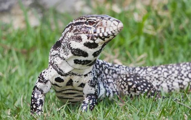 南美巨蜥入侵美国南部,到处偷蛋吃,科学家忧其助长缅甸蟒数量!