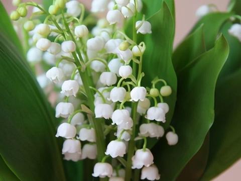 那个开花像风铃的花儿——铃兰花