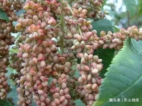 农村一种自带盐巴的野果,以前随处都可以见,现在稀罕珍贵