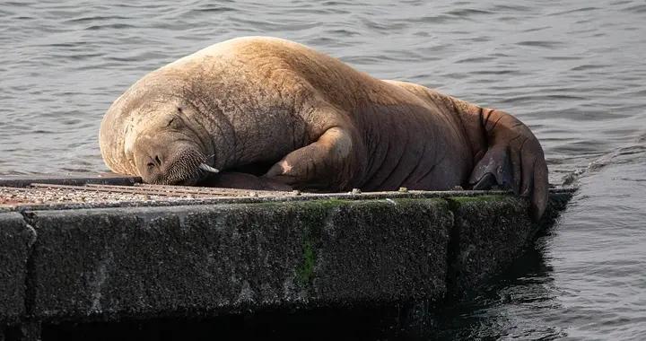 英国威尔逊3岁小海象岸边撒娇卖萌