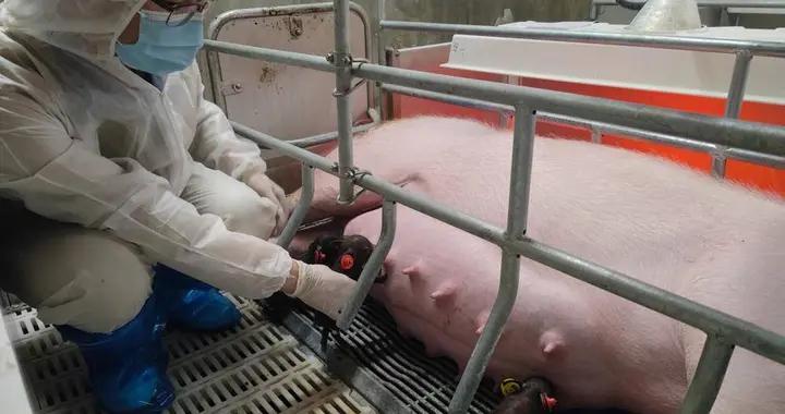 龙凤胎!集淮猪和大白猪的优点于一身,淮安首例体细胞克隆猪诞生