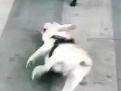 法国斗牛犬不愧为狗狗界的碰瓷王,太逗了!
