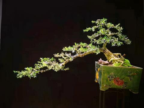 二类保护植物罗汉松,价格居高不下,一树难求,主要是这几个原因