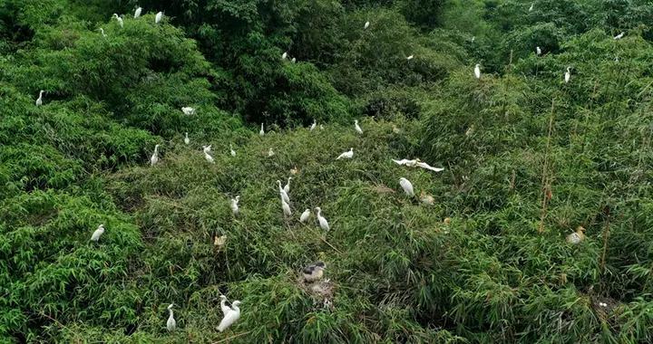 四川泸州纳溪区:草长营地白鹭飞
