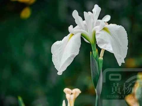 遇见鸢尾花绚烂多姿的美,夏日妩媚的花朵清新迷人,花开熟悉别致
