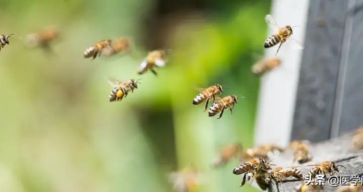 花蜜里的尼古丁,让蜜蜂上瘾的同时也增强了记忆力