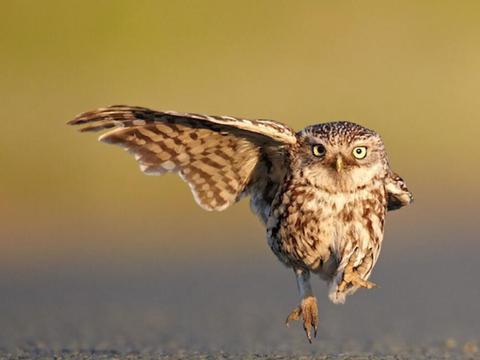 在农村,猫头鹰被大家称之为不祥之鸟、报丧鸟,有科学依据吗?