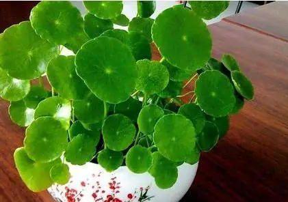 轻松养好铜钱草,学会这招小妙招,四季常绿,叶片又大又圆