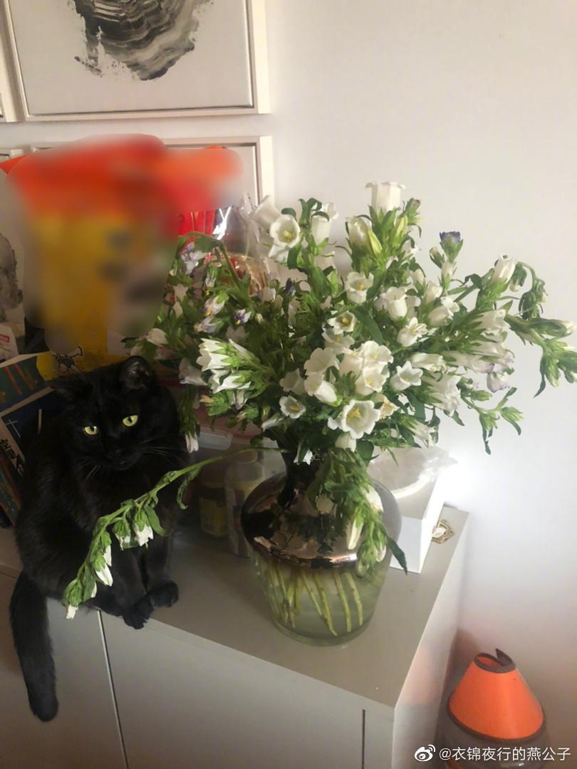 闺蜜送的风铃草,白居易吃了一朵! 花吃了那女孩,猫吃了那朵花