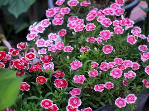 庭院养花选石竹,花期超长、花量超大,夏季不怕晒,冬日不怕冷