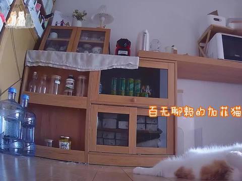 监控拍下加菲猫在家打蓝猫过程