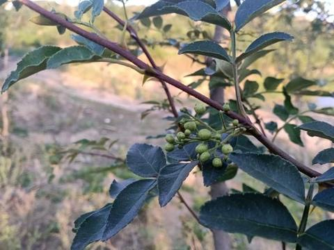 中国特有香料之一:花椒,树上浑身是刺,花椒籽和芽却是特色美味
