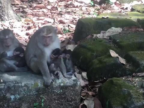 猴子们么密集的在一起,因为外围的猴子护卫