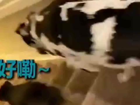 大长腿狗狗下楼梯弯腰驼背像小老头儿,柯基:我十分羡慕!