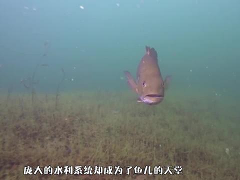三峡大坝蓄水20年,号称鱼类的世界,水库最大的鱼有多大了?