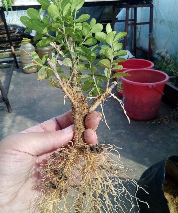 黄杨修剪后的枝条不要丢,木质化老枝也能扦插,一年后又变盆景了