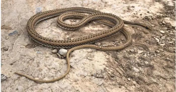 """新疆发现的蛇类新种 花条蛇速度堪比""""百米飞人"""""""