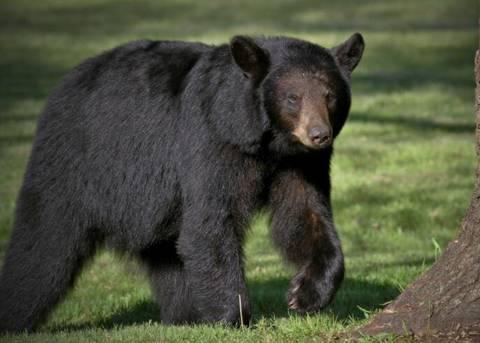 美国野生黑熊性情大变,感染神秘脑炎后,温顺得像小狗