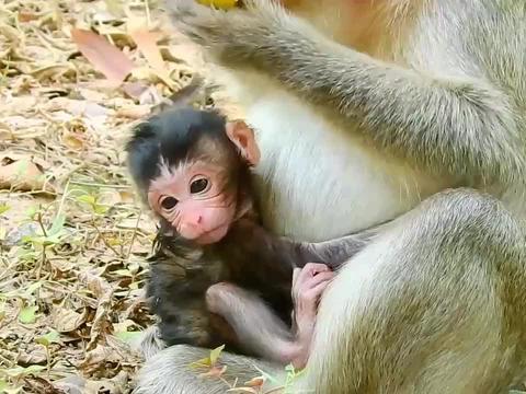 新生猴宝宝刚出生不久,是个精力不错的小老头!