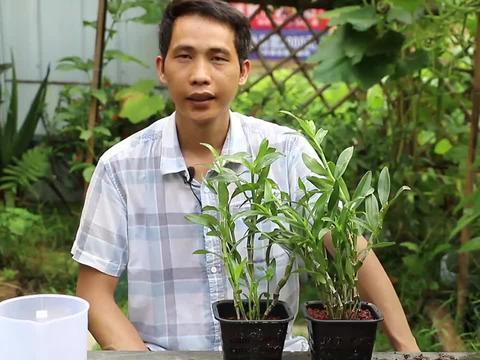 要想石斛长新根新芽快,别单只顾着施肥,多用一种水,快速见效