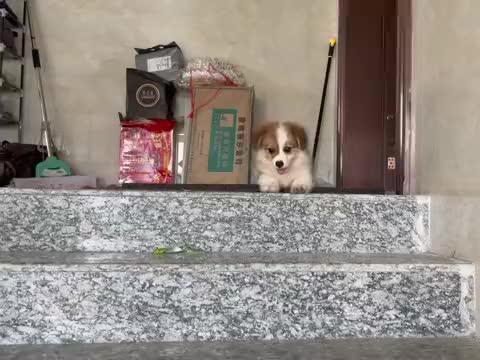 领养回来的小柯基,很多网友说是串串狗,搞得我很迷糊啊?