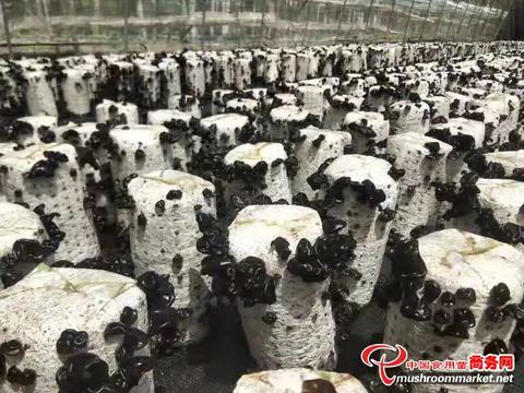 """新疆新和县:""""小小黑木耳""""拉动""""大产业"""""""