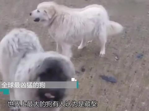 全球最凶猛的狗,5分钟就能干掉藏獒,竟然还可以当马骑