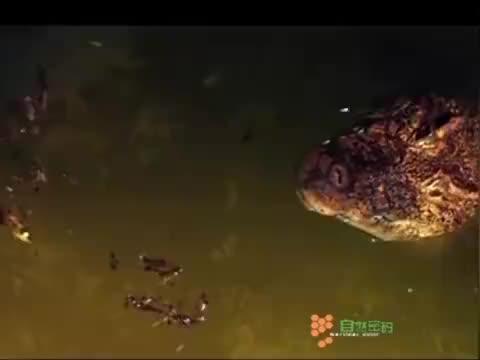 古巴鳄尾巴开始抽打,从水下一跃而起,捕捉树上的猎物!