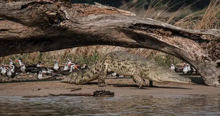 乌干达巨鳄吃掉了80个人,当地人视其为魔鬼化身,会永垂不朽