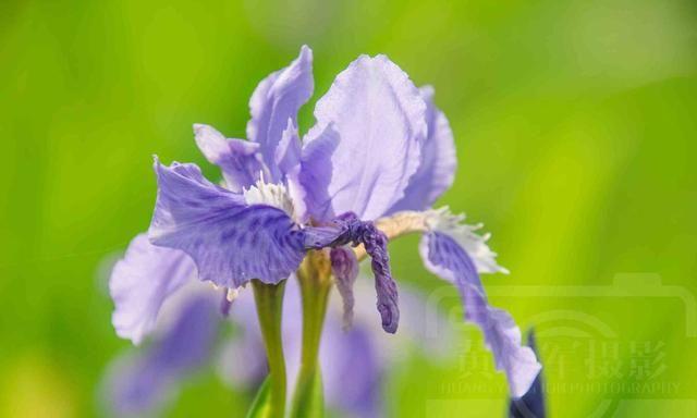 阳光下美丽绽放的鸢尾花,淡紫色的花朵芬芳多姿,特别好看的花卉