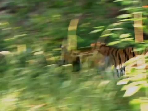 老虎捕捉小鹿,教科书式的捕猎,不愧是百兽之王