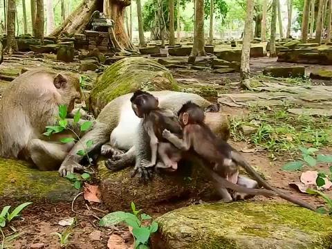 猴王性情古怪,动不动就收拾小猴,小猴都被整蒙圈了!