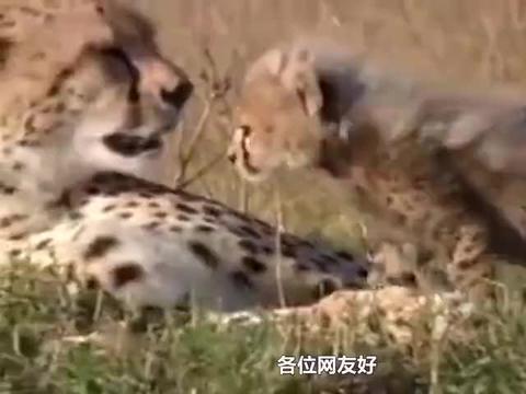 猎豹和狮子不同的育儿方式,网友哭了:单身妈妈和完整家庭的区别