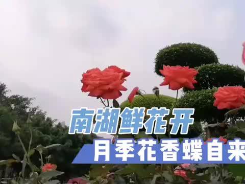 南宁南湖,春意盎然,月季花开蝶恋花